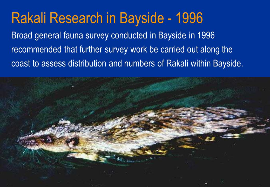 Rakali Research in Bayside - 1996 Broad general fauna survey conducted in Bayside in 1996 recommended that further survey work be carried out along the coast to assess distribution and numbers of Rakali within Bayside.