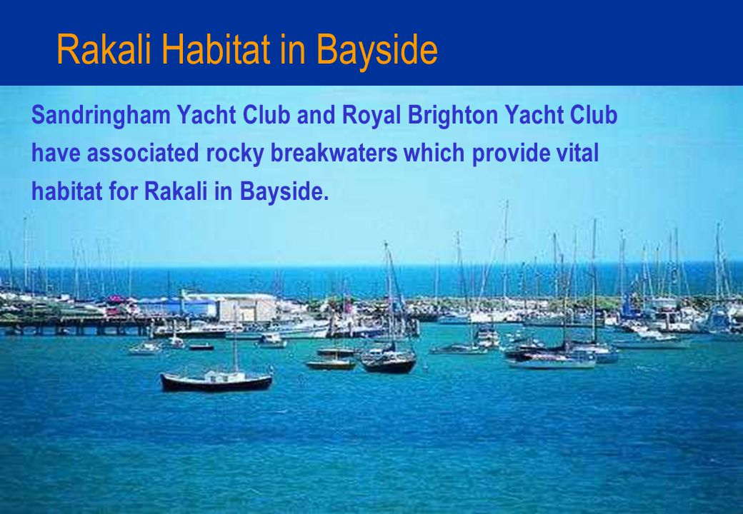 Rakali Habitat in Bayside Sandringham Yacht Club and Royal Brighton Yacht Club have associated rocky breakwaters which provide vital habitat for Rakali in Bayside.