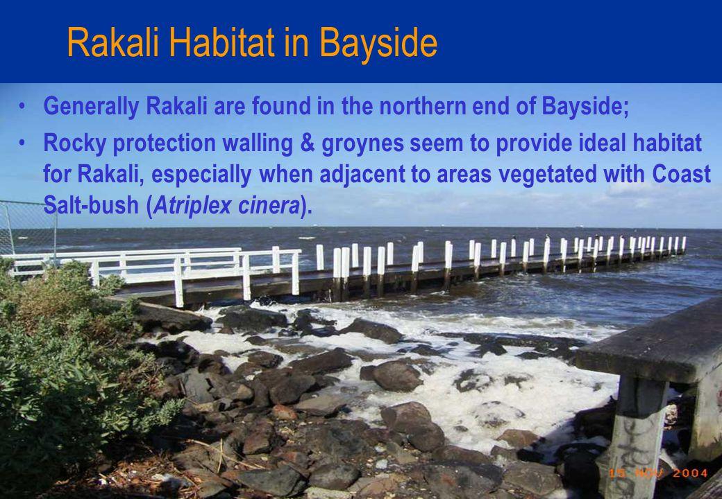 Rakali Habitat in Bayside Generally Rakali are found in the northern end of Bayside; Rocky protection walling & groynes seem to provide ideal habitat for Rakali, especially when adjacent to areas vegetated with Coast Salt-bush ( Atriplex cinera ).