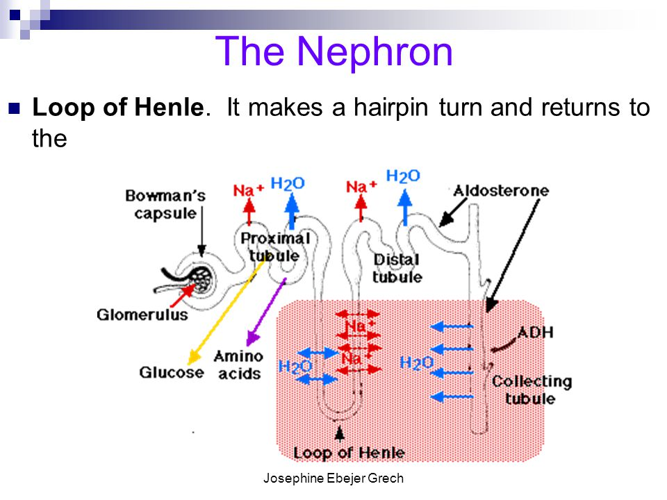 Josephine Ebejer Grech The Nephron Loop of Henle. It makes a hairpin turn and returns to the