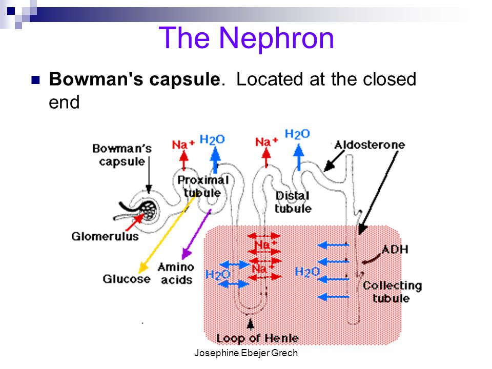 Josephine Ebejer Grech The Nephron Glomerulus. A capillary network within the Bowman s capsule.