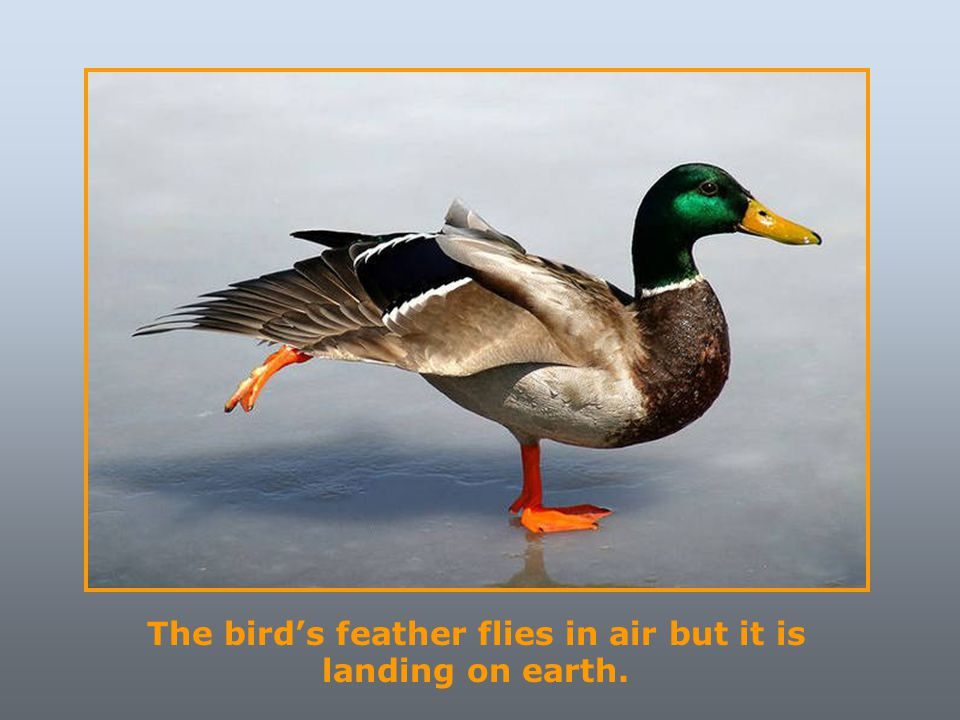 The bird's feather flies in air but it is landing on earth.