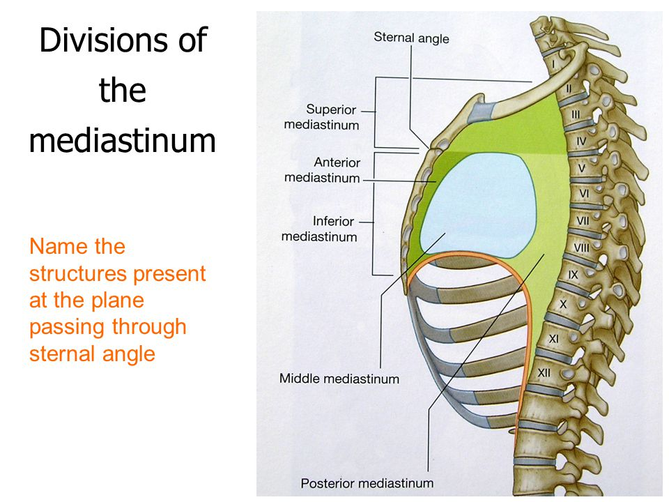 Divisions of the mediastinum Name the structures present at the plane passing through sternal angle