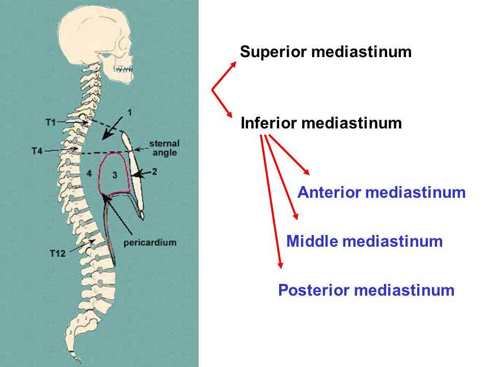 Superior mediastinum Inferior mediastinum Anterior mediastinum Middle mediastinum Posterior mediastinum