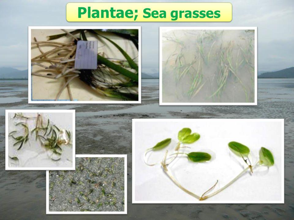 Plantae; Sea grasses