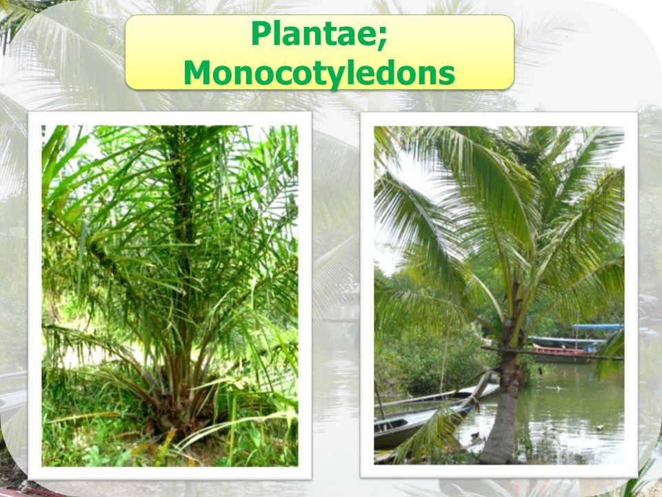 Plantae; Monocotyledons