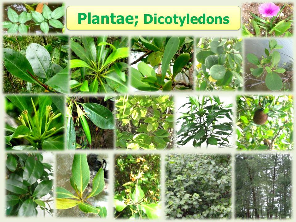 Plantae; Dicotyledons