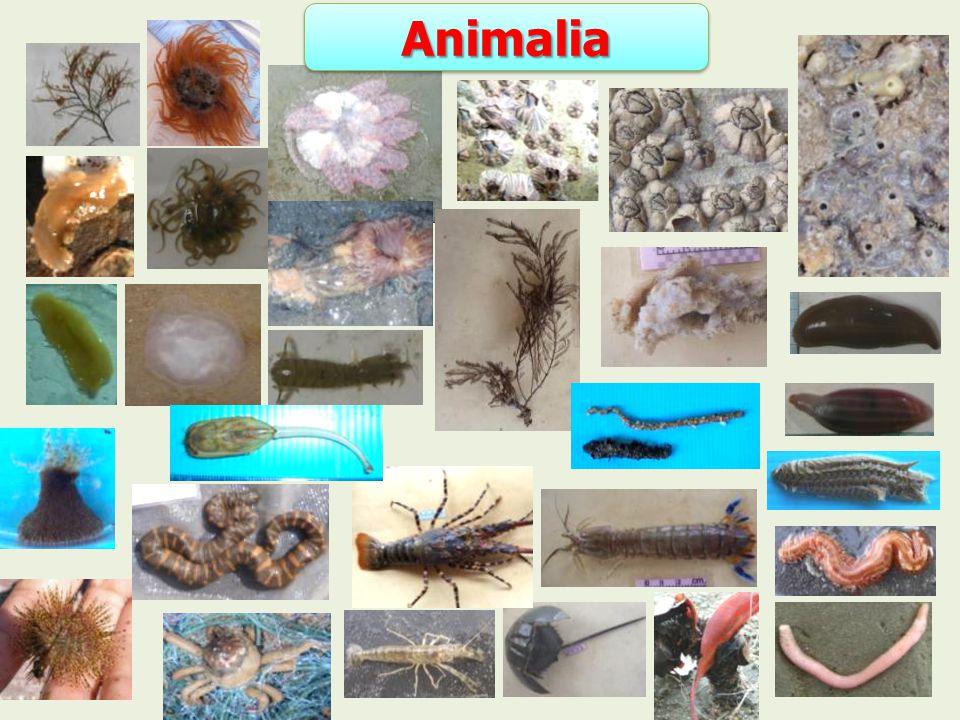 Animalia Animalia