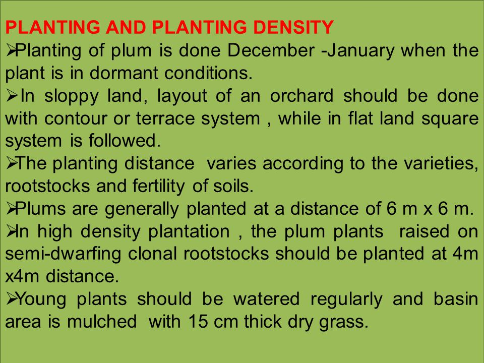 PLANTING AND PLANTING DENSITY  Planting of plum is done December -January when the plant is in dormant conditions.  In sloppy land, layout of an orc