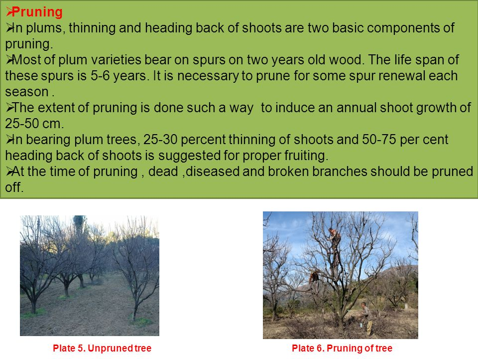  Pruning  In plums, thinning and heading back of shoots are two basic components of pruning.  Most of plum varieties bear on spurs on two years old