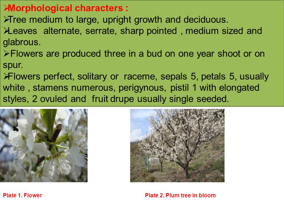  Climate and Soil  Plum requires varying types of climate and is grown from subtropical plains to the temperate high hills  The European type of plums are grown in high hills at an elevation of 1300-2000 m a m s 1 and requires about 800-1000 hrs of chilling.