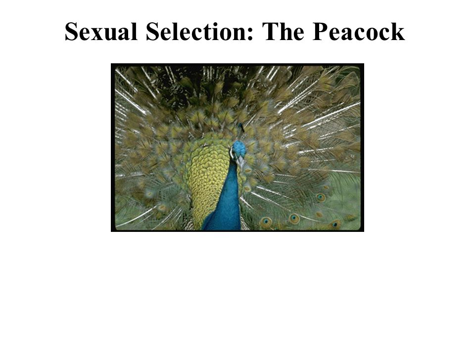 Sexual Selection: The Peacock