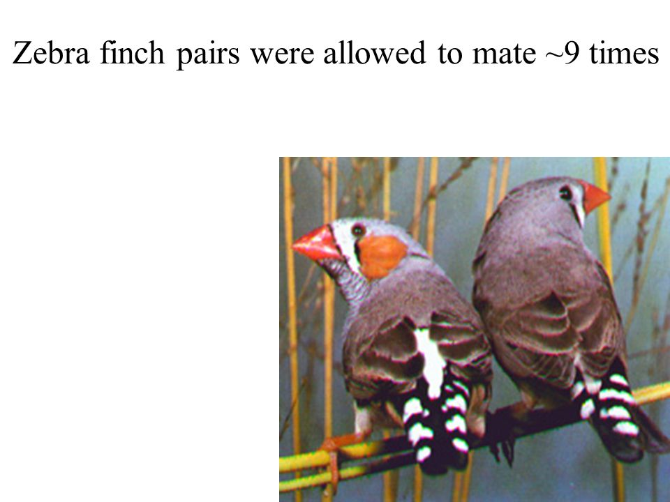 Zebra finch pairs were allowed to mate ~9 times