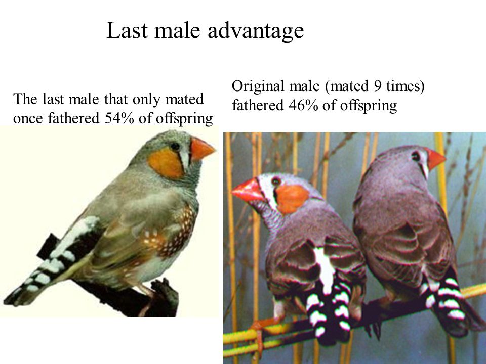 Original male (mated 9 times) fathered 46% of offspring The last male that only mated once fathered 54% of offspring Last male advantage