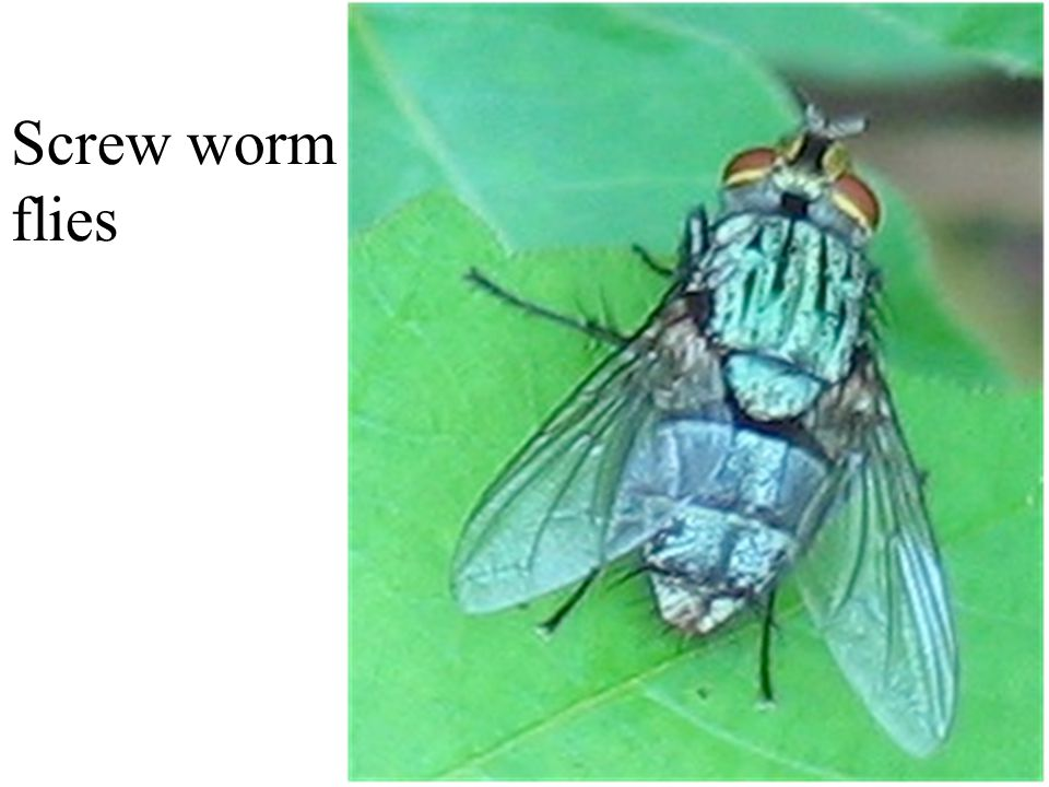Screw worm flies