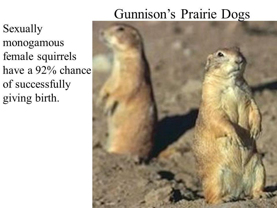 Gunnison's Prairie Dogs Sexually monogamous female squirrels have a 92% chance of successfully giving birth.
