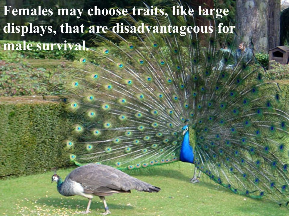 Females may choose traits, like large displays, that are disadvantageous for male survival.
