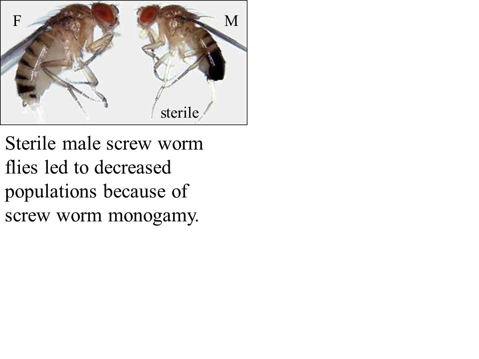 Sterile male screw worm flies led to decreased populations because of screw worm monogamy.