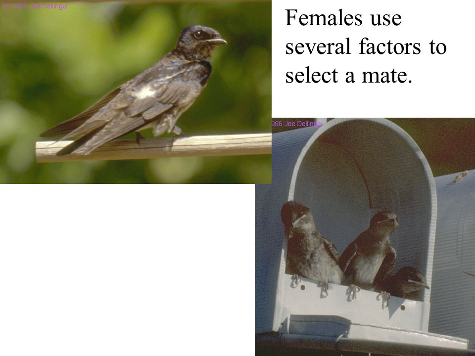 Females use several factors to select a mate.