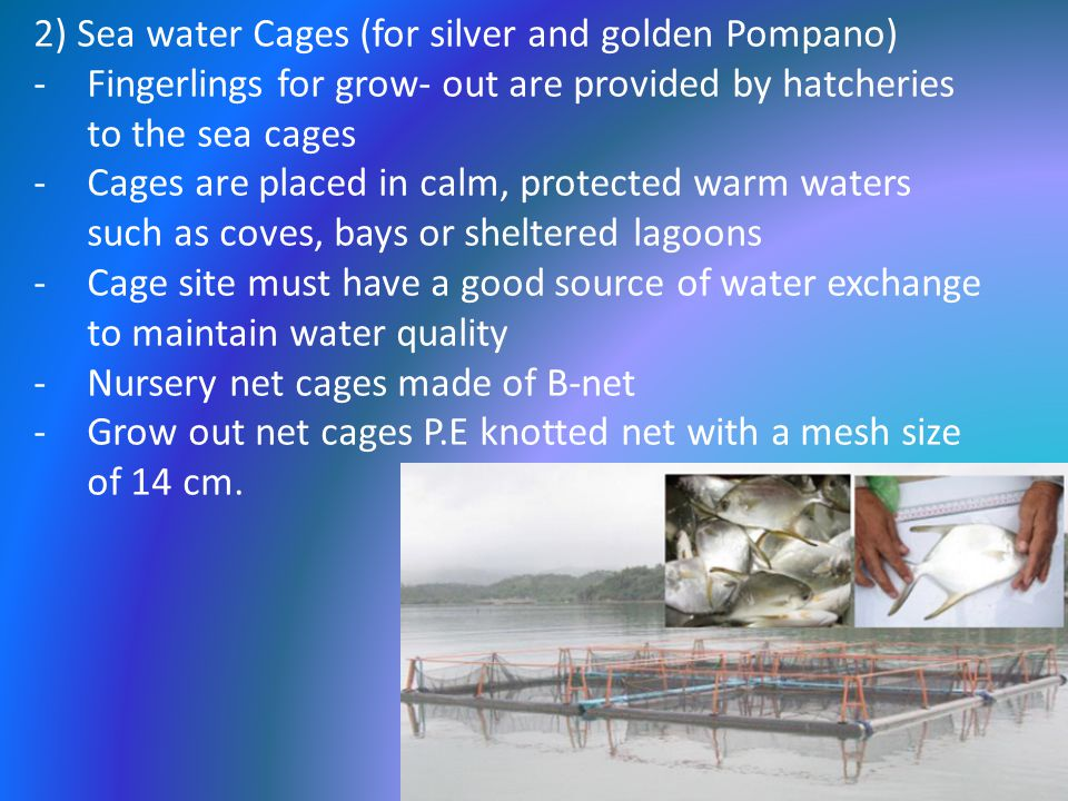 2) Sea water Cages (for silver and golden Pompano) -Fingerlings for grow- out are provided by hatcheries to the sea cages -Cages are placed in calm, protected warm waters such as coves, bays or sheltered lagoons -Cage site must have a good source of water exchange to maintain water quality -Nursery net cages made of B-net -Grow out net cages P.E knotted net with a mesh size of 14 cm.