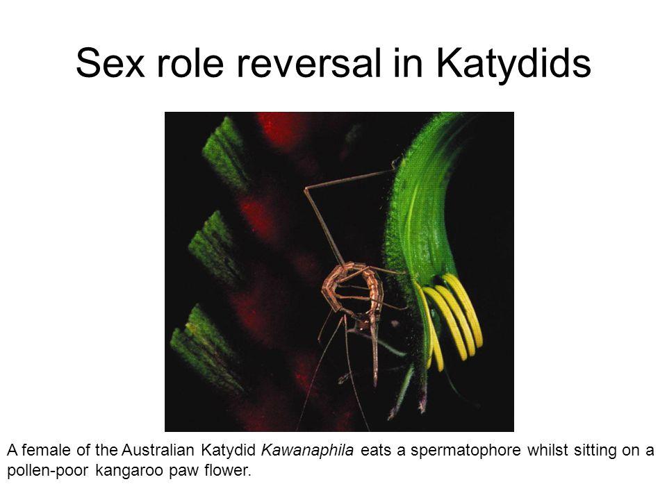 Sex role reversal in Katydids A female of the Australian Katydid Kawanaphila eats a spermatophore whilst sitting on a pollen-poor kangaroo paw flower.