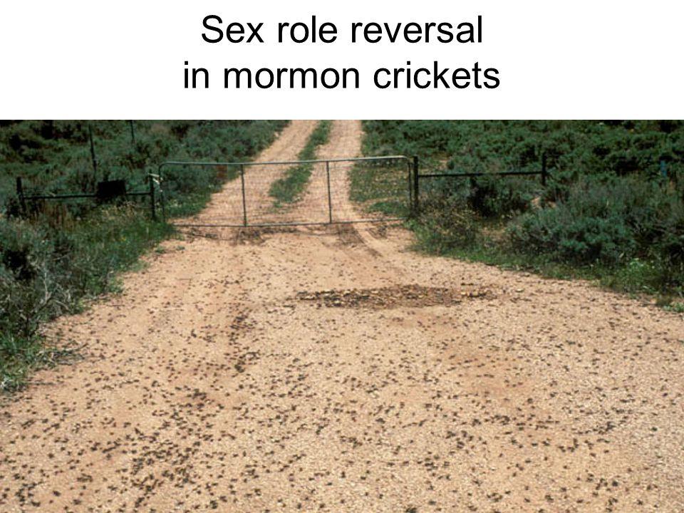 Sex role reversal in mormon crickets