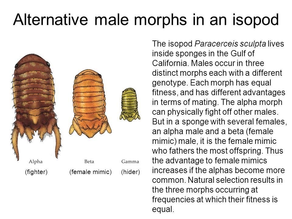 Alternative male morphs in an isopod (fighter) (female mimic) (hider) The isopod Paracerceis sculpta lives inside sponges in the Gulf of California. M
