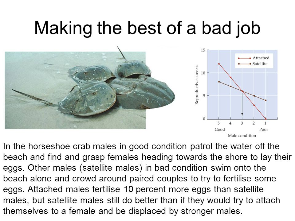 Making the best of a bad job In the horseshoe crab males in good condition patrol the water off the beach and find and grasp females heading towards t
