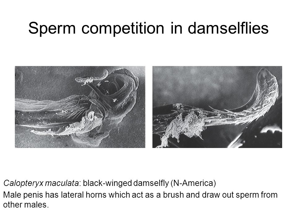 Sperm competition in damselflies Calopteryx maculata: black-winged damselfly (N-America) Male penis has lateral horns which act as a brush and draw ou