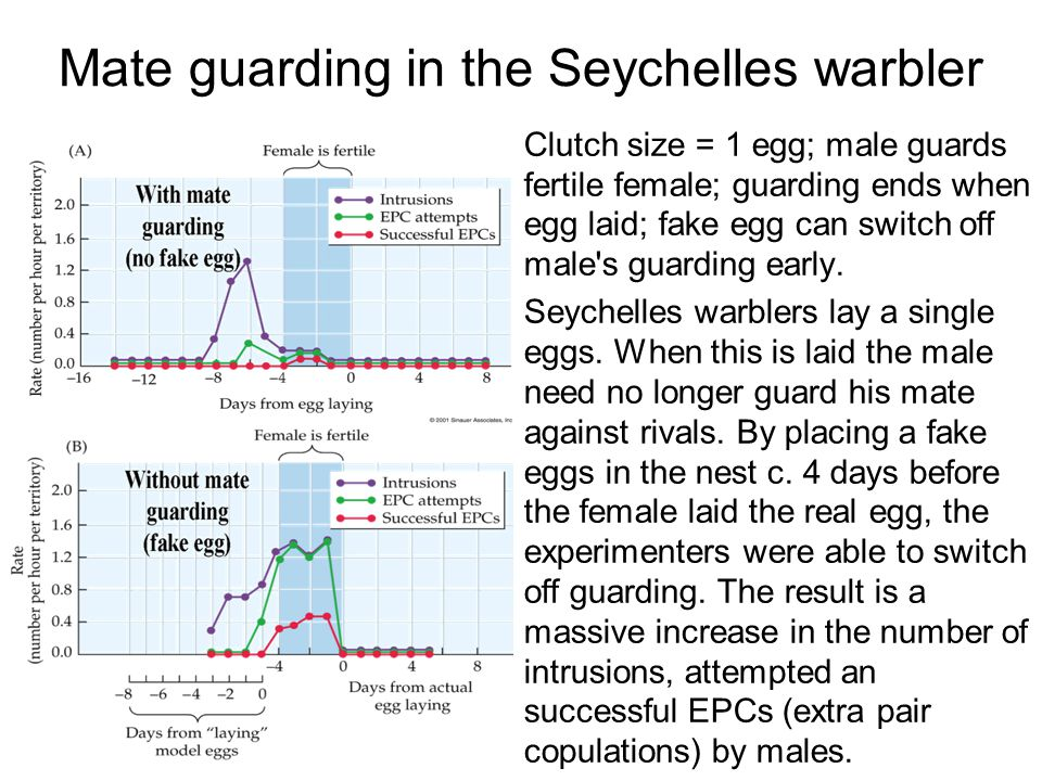 Mate guarding in the Seychelles warbler Clutch size = 1 egg; male guards fertile female; guarding ends when egg laid; fake egg can switch off male's g