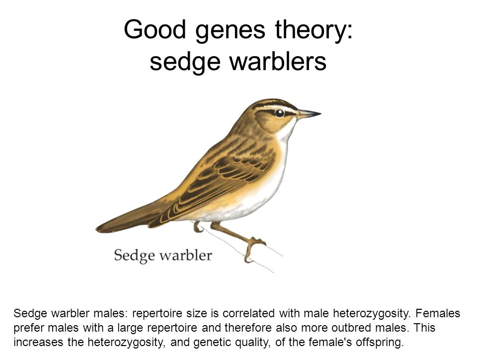 Good genes theory: sedge warblers Sedge warbler males: repertoire size is correlated with male heterozygosity. Females prefer males with a large reper