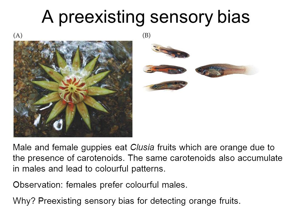 A preexisting sensory bias Male and female guppies eat Clusia fruits which are orange due to the presence of carotenoids. The same carotenoids also ac