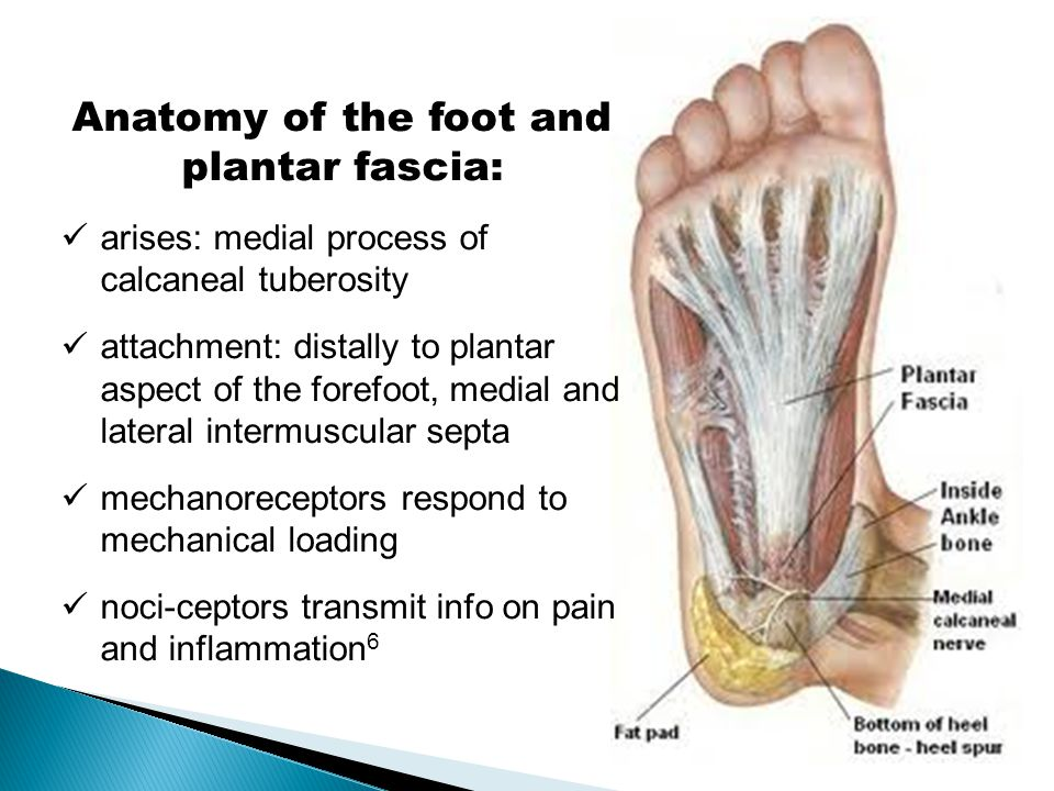 Anatomy of the foot and plantar fascia: arises: medial process of calcaneal tuberosity attachment: distally to plantar aspect of the forefoot, medial