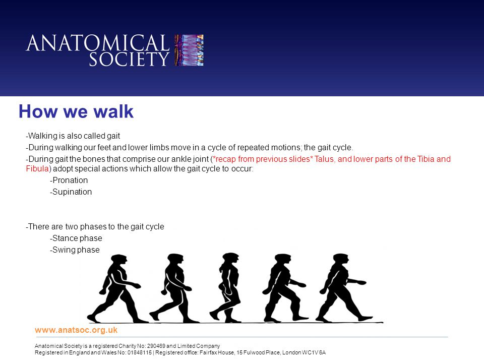 www.anatsoc.org.uk Anatomical Society is a registered Charity No: 290469 and Limited Company Registered in England and Wales No: 01848115 | Registered