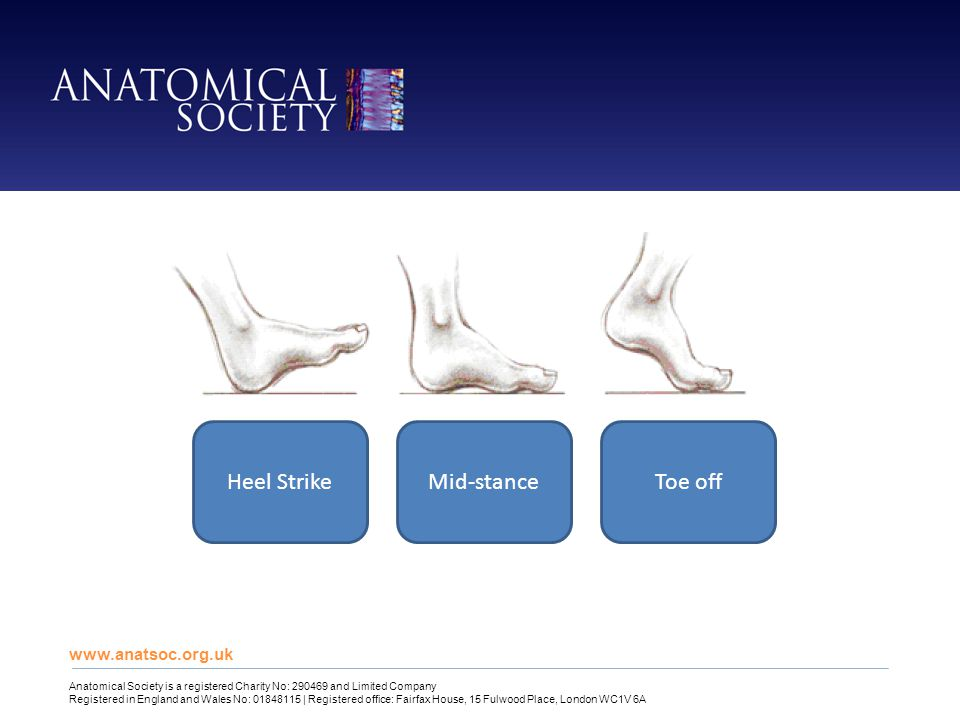 www.anatsoc.org.uk Anatomical Society is a registered Charity No: 290469 and Limited Company Registered in England and Wales No: 01848115 | Registered office: Fairfax House, 15 Fulwood Place, London WC1V 6A Heel StrikeMid-stanceToe off