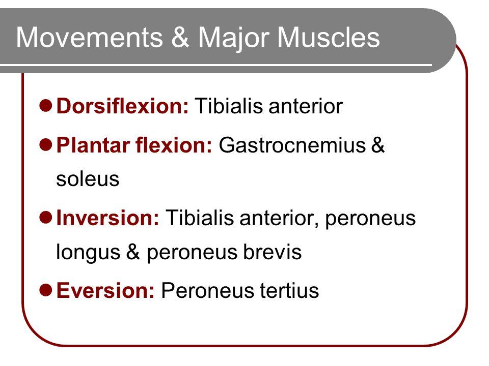 Movements & Major Muscles Dorsiflexion: Tibialis anterior Plantar flexion: Gastrocnemius & soleus Inversion: Tibialis anterior, peroneus longus & peroneus brevis Eversion: Peroneus tertius