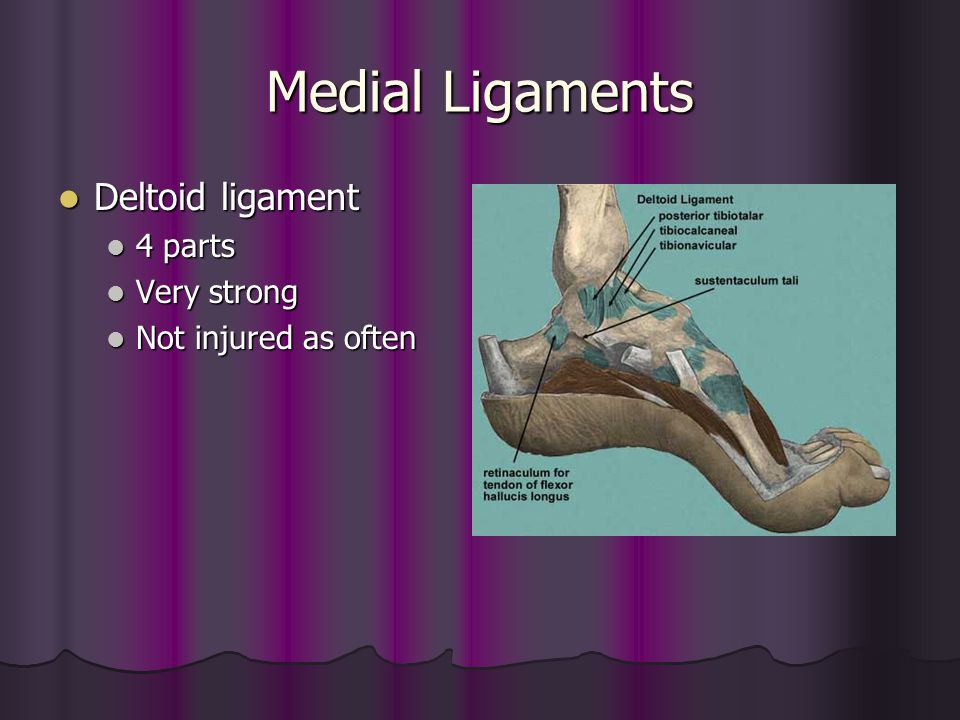 Medial Ligaments Deltoid ligament Deltoid ligament 4 parts 4 parts Very strong Very strong Not injured as often Not injured as often