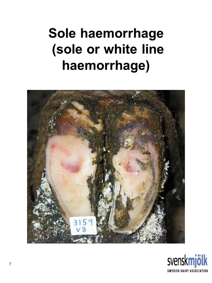 7 Sole haemorrhage (sole or white line haemorrhage)