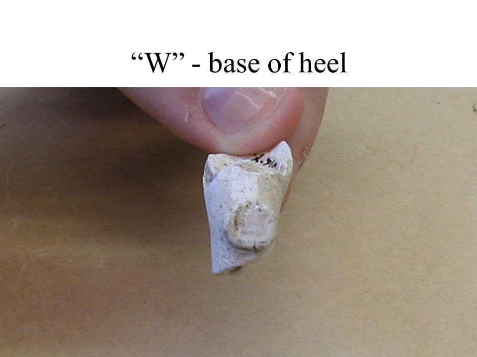 """""""W"""" - base of heel"""