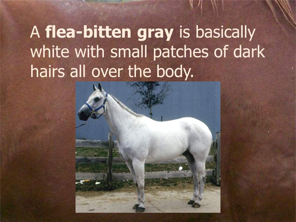 A flea-bitten gray is basically white with small patches of dark hairs all over the body.