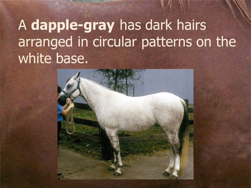 A dapple-gray has dark hairs arranged in circular patterns on the white base.