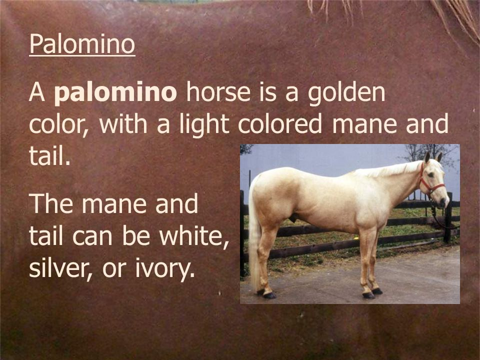 Palomino A palomino horse is a golden color, with a light colored mane and tail.