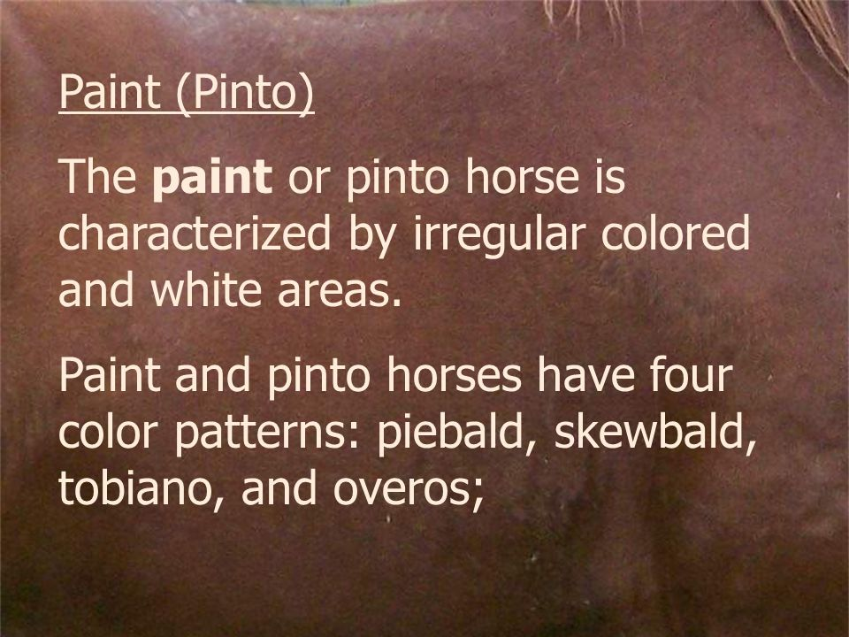 Paint (Pinto) The paint or pinto horse is characterized by irregular colored and white areas.