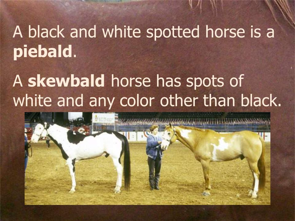 A black and white spotted horse is a piebald.
