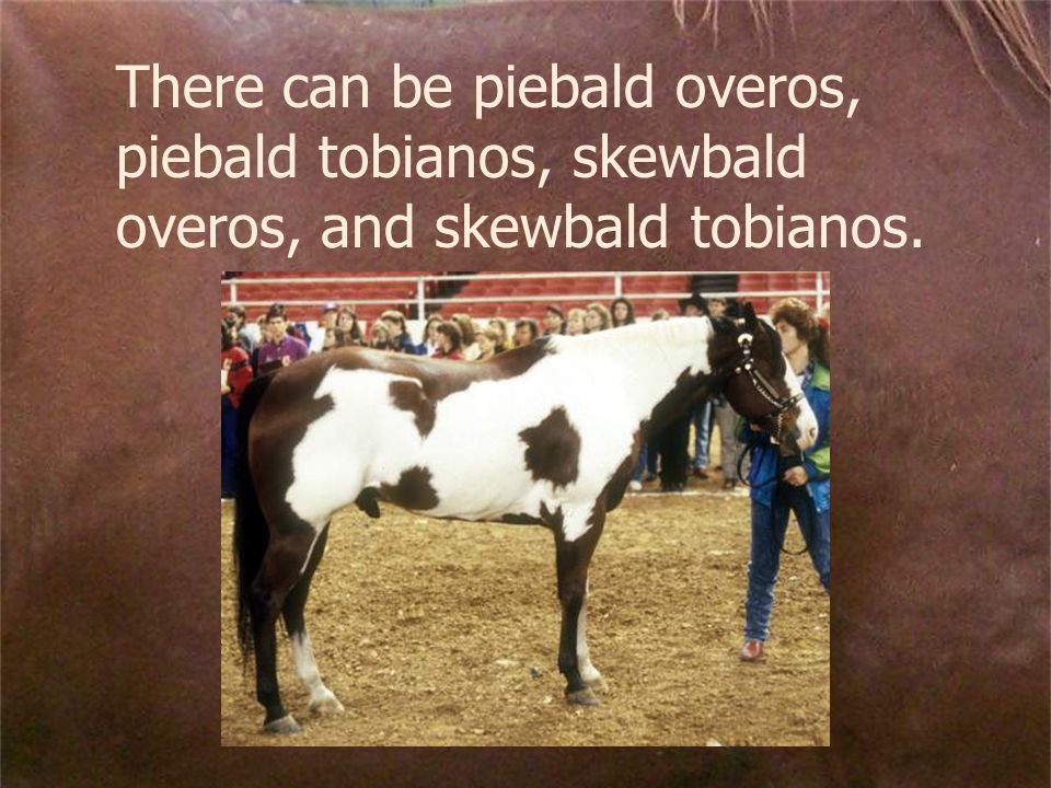 There can be piebald overos, piebald tobianos, skewbald overos, and skewbald tobianos.