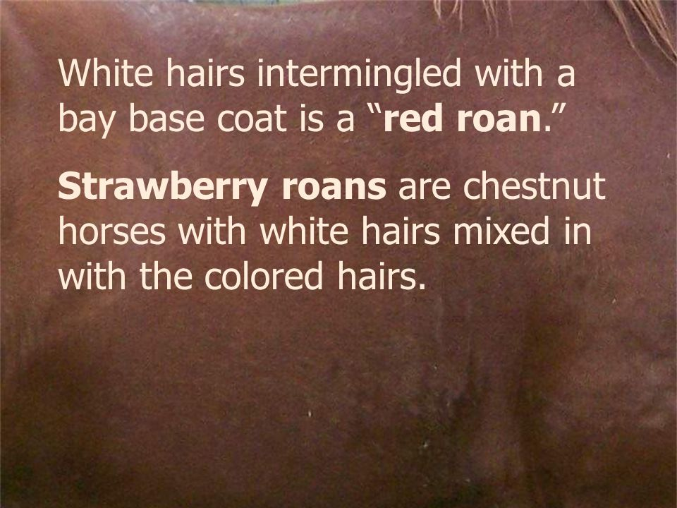 White hairs intermingled with a bay base coat is a red roan. Strawberry roans are chestnut horses with white hairs mixed in with the colored hairs.