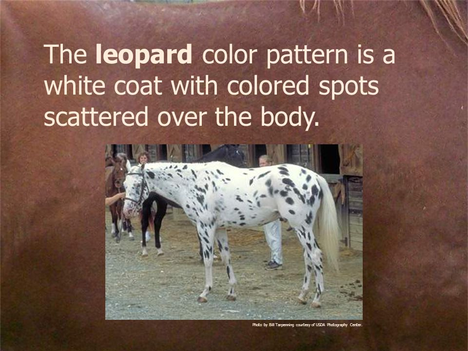 The leopard color pattern is a white coat with colored spots scattered over the body.