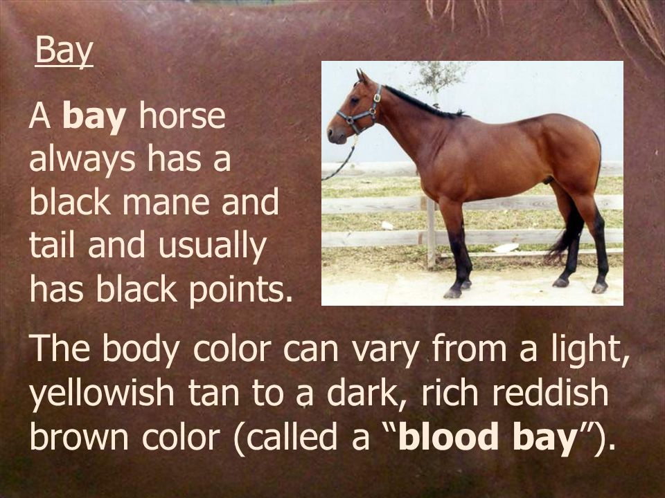 Bay A bay horse always has a black mane and tail and usually has black points.