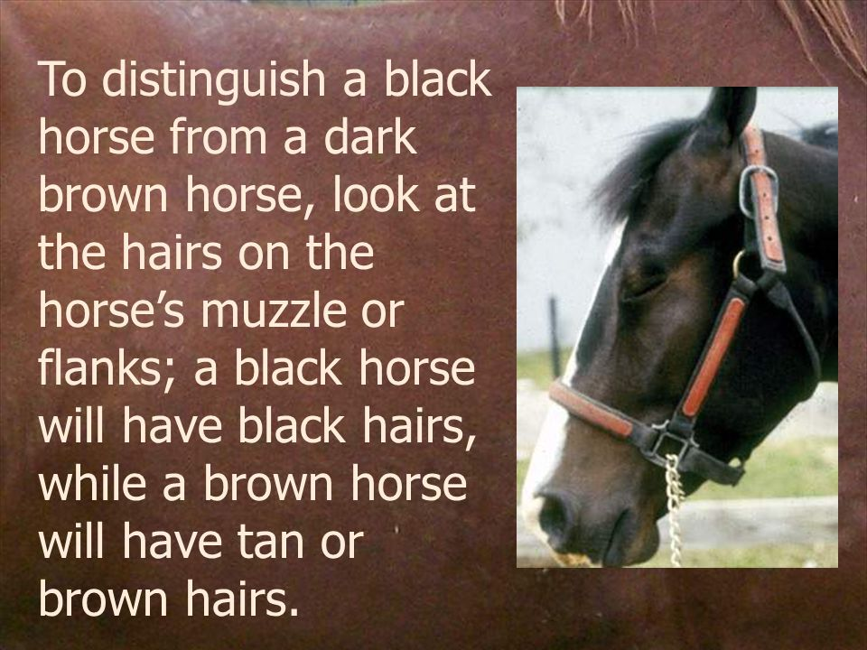 To distinguish a black horse from a dark brown horse, look at the hairs on the horse's muzzle or flanks; a black horse will have black hairs, while a brown horse will have tan or brown hairs.