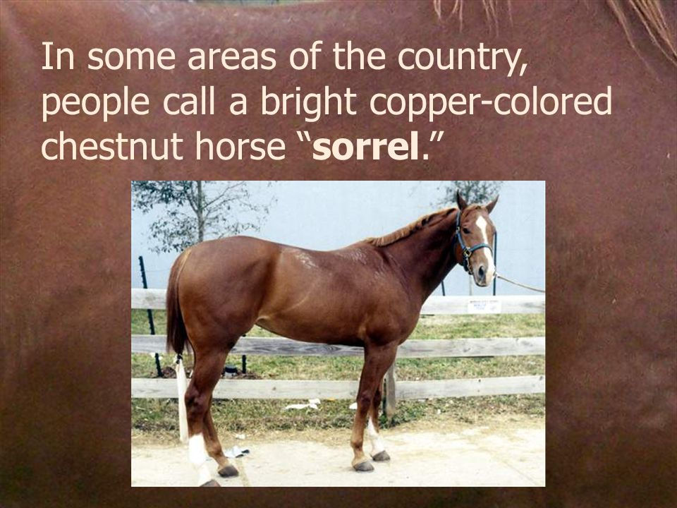 In some areas of the country, people call a bright copper-colored chestnut horse sorrel.